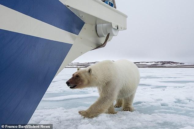 Удивительная встреча яхтсменки с белым медведем, запечатленная фотографом дикой природы (ФОТО) 11