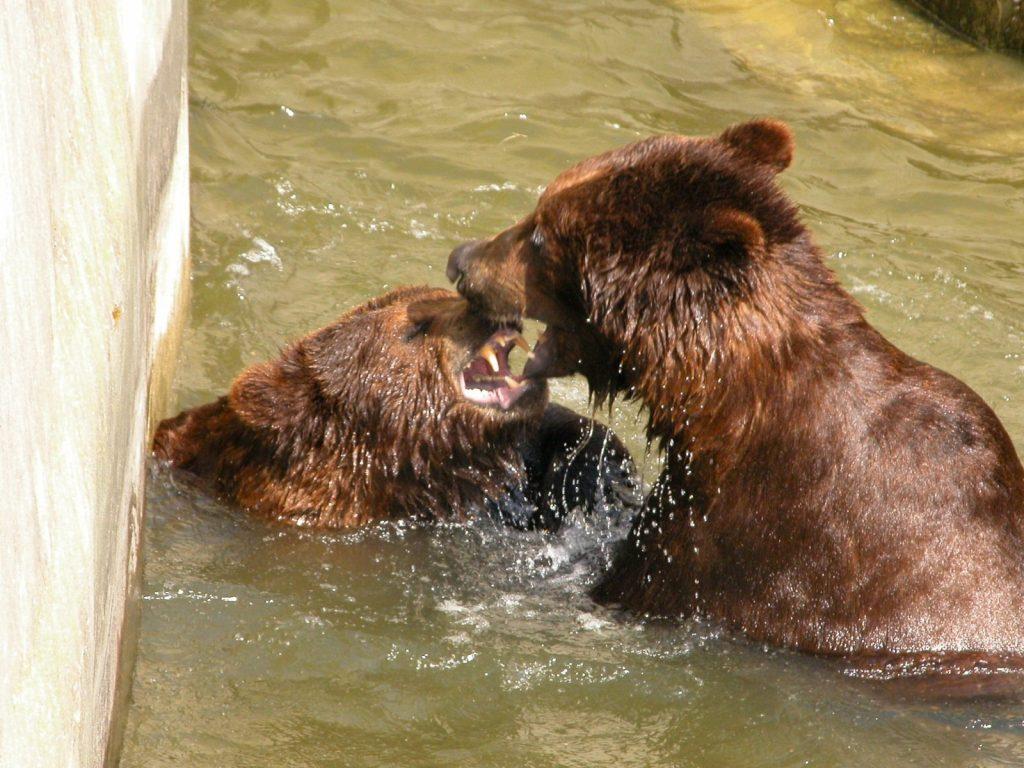 В Николаевском зоопарке именинники – камчатские медведи Мирон и Вакула (ФОТО) 11