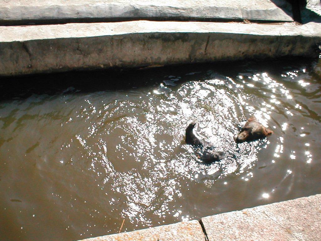 В Николаевском зоопарке именинники – камчатские медведи Мирон и Вакула (ФОТО) 13