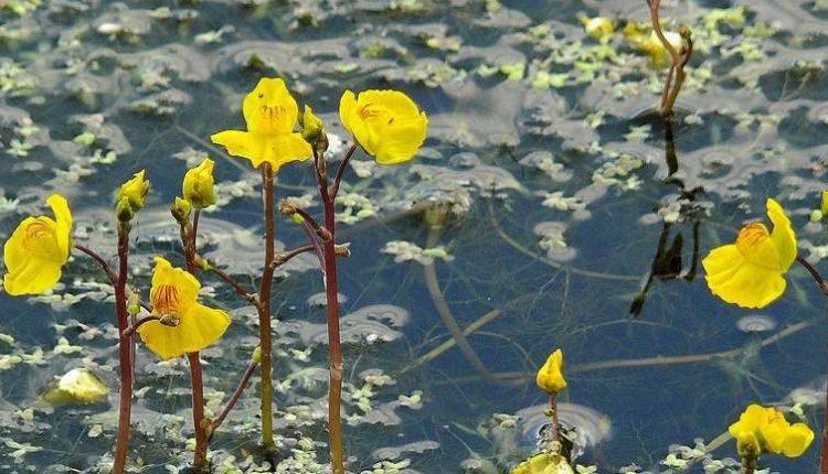 Родом из Австралии. Агрессивные растения-пришельцы атакуют украинские реки