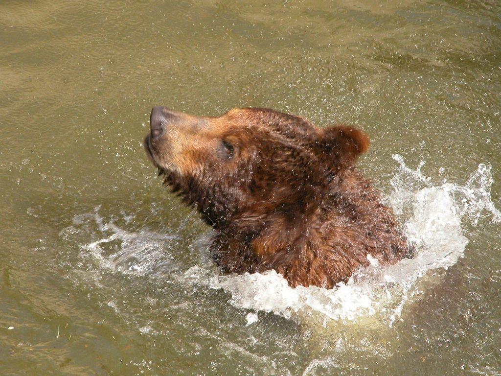 В Николаевском зоопарке именинники – камчатские медведи Мирон и Вакула (ФОТО) 17