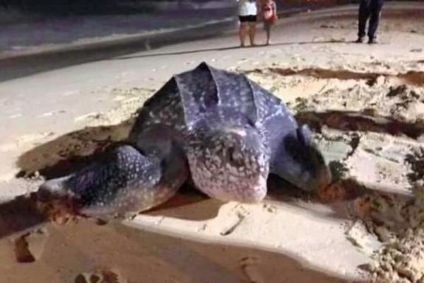 В первый час нового года: впервые за много лет морская черепаха отложила яйца на Пхукете (ФОТО)