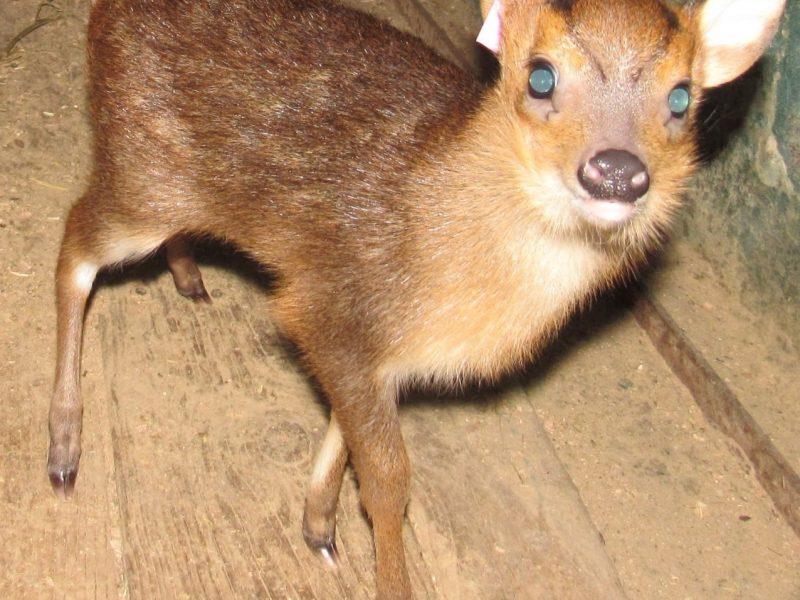 Очень маленький, но – олень: в Николаевском зоопарке появился на свет мунтжак (ФОТО)