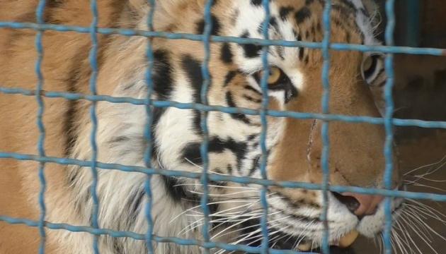 В зоопарке в Черниговской области тигр загрыз смотрителя