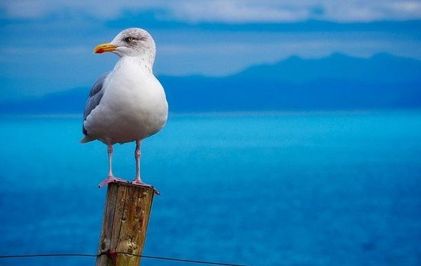 В Шотландии чайка украла откушенный в драке язык