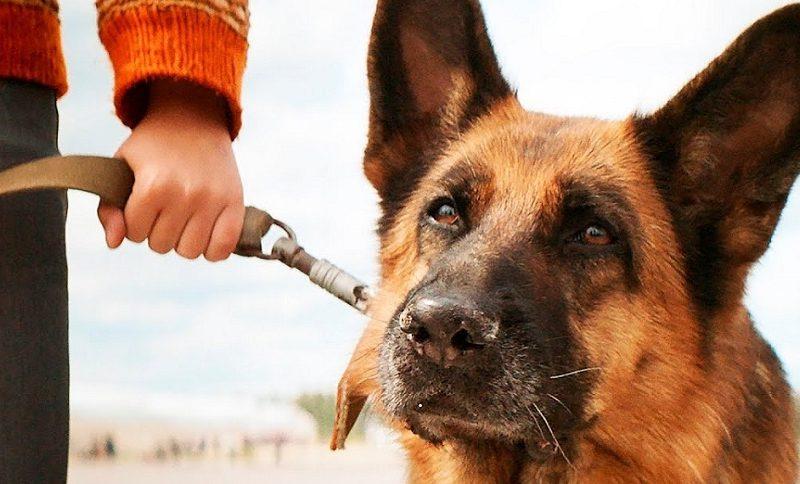 Собаки определяют больных COVID точнее, чем ПЦР-тесты