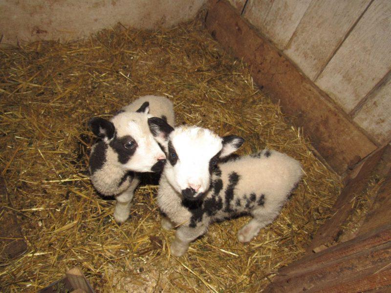 В Николаевском зоопарке — новые новорожденные: барашки святого Якова (ФОТО)