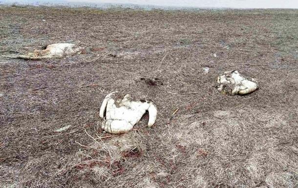 В Херсонской области погибли 90 лебедей