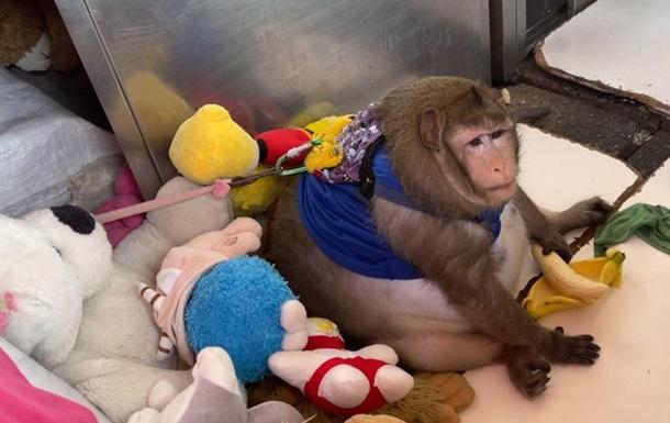 Годзилла слишком много жрал. В Бангкоке обезьяну отправили в лагерь для похудения (ФОТО)