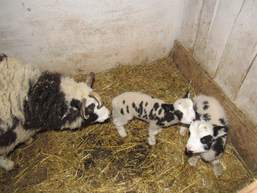 В Николаевском зоопарке - новые новорожденные: барашки святого Якова (ФОТО) 5