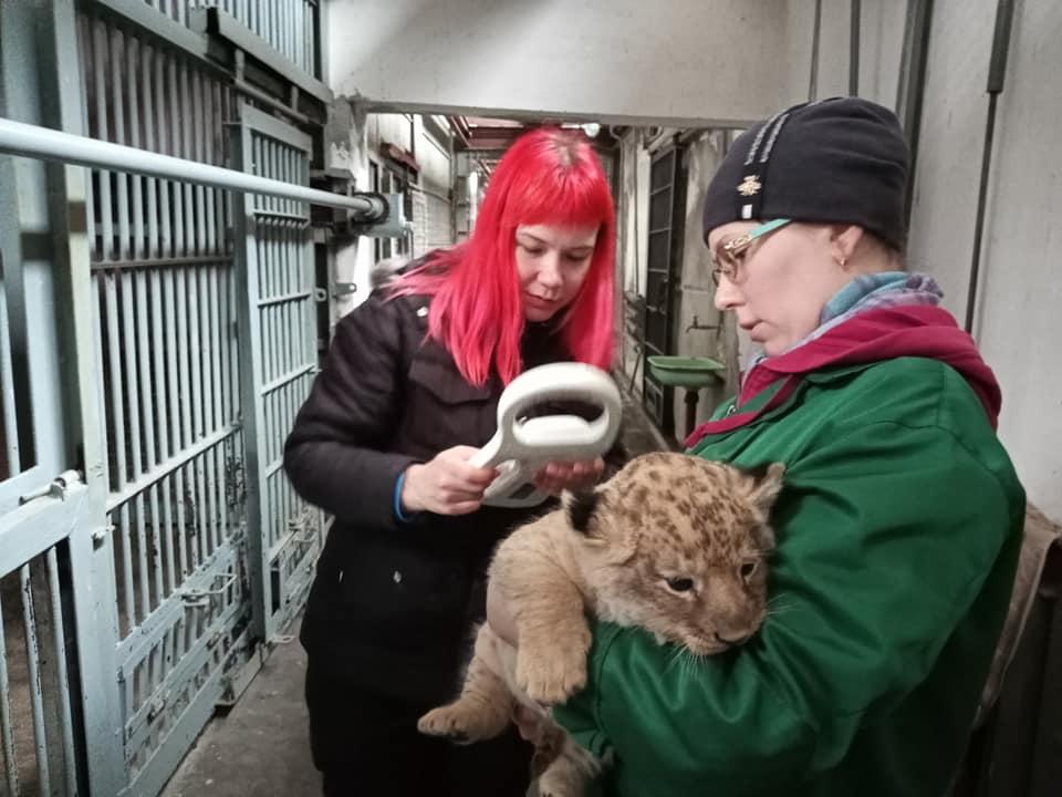 Ласковый и сердитая: в Николаевском зоопарке родились львята (ФОТО) 7
