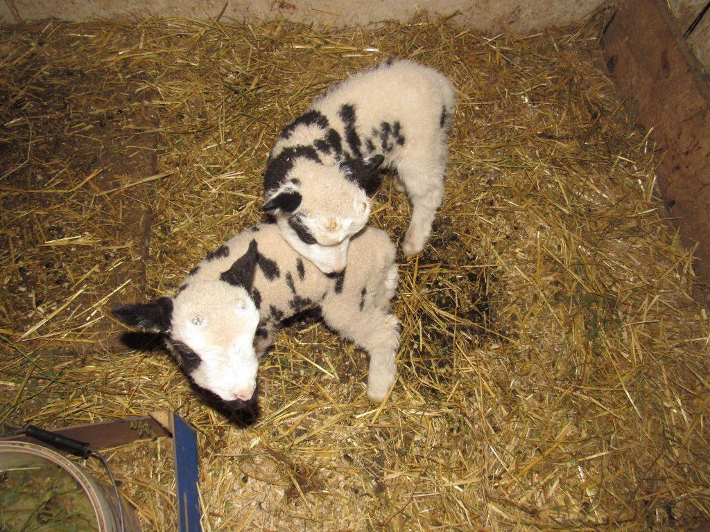 В Николаевском зоопарке - новые новорожденные: барашки святого Якова (ФОТО) 7