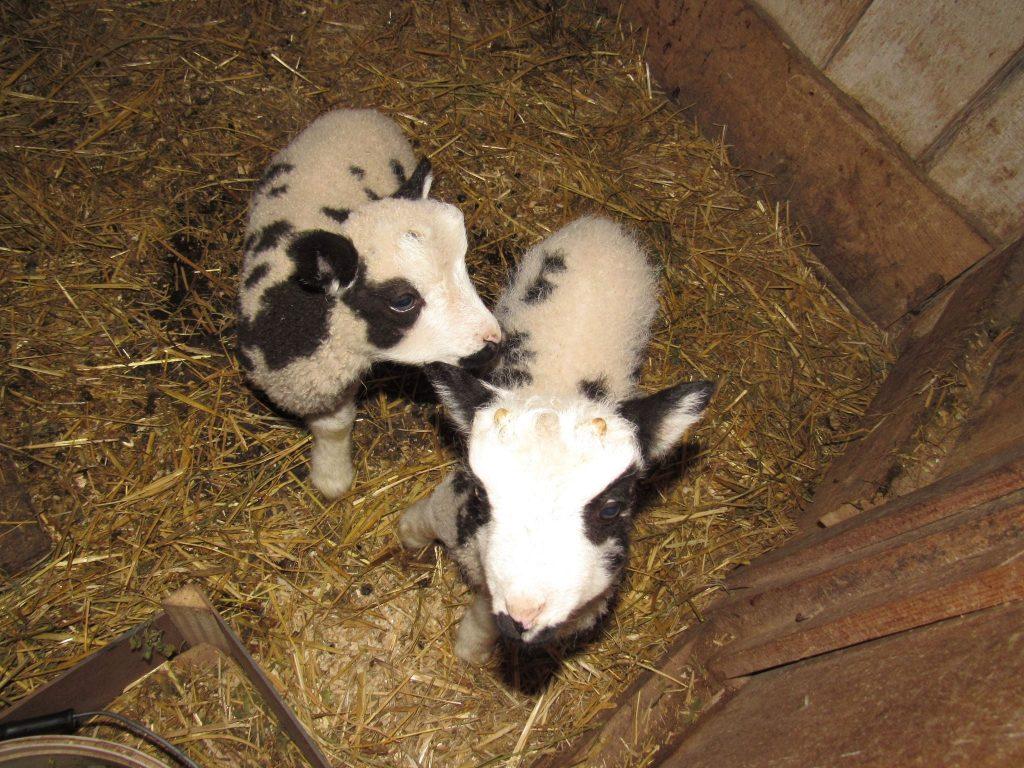В Николаевском зоопарке - новые новорожденные: барашки святого Якова (ФОТО) 9