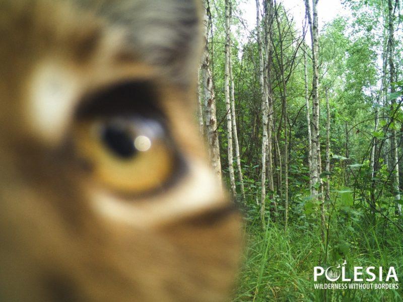 """Чей """"глаз"""" там подмигивает? Появились снимки животных, которые рассматривают фотоловушки в Чернобыльском заповеднике (ФОТО)"""