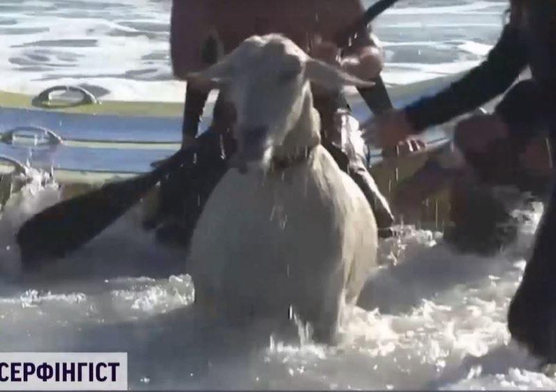 Зато пахнет хорошо. В США серфингист пристрастил к спорту своего козла – теперь покоряют волны вместе (ВИДЕО)