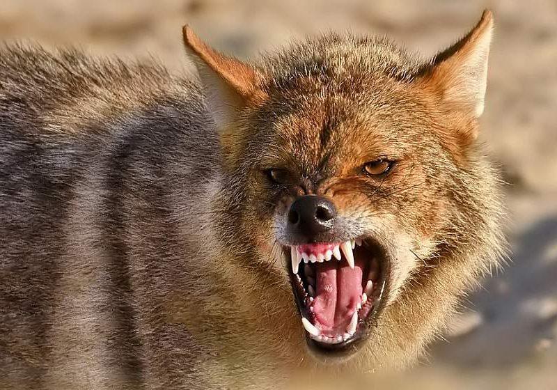 Херсонскую область атакуют шакалы. Охотники призывают спасать зайцев