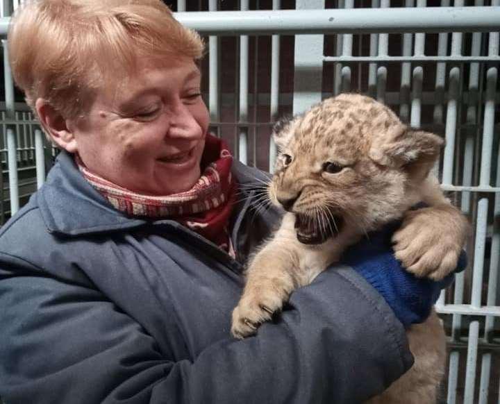 Ласковый и сердитая: в Николаевском зоопарке родились львята (ФОТО)