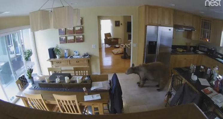 Маленькие собачки с большим сердцем: как декоративные терьеры прогнали медведя, забравшегося в дом (ВИДЕО)