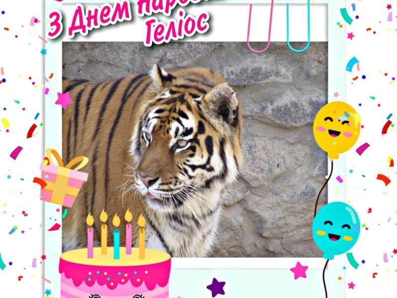 В Николаевском зоопарке именинник — тигру Гелиосу исполнилось 15 лет