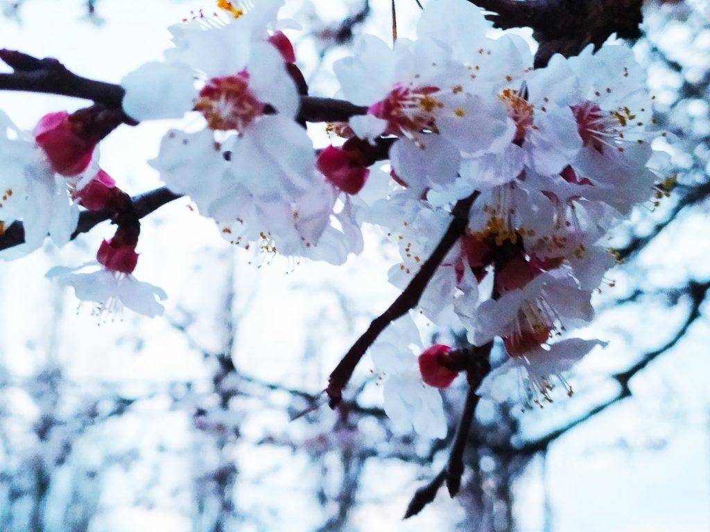 Весна! В Николаеве зацвели первые абрикосовые деревья (ФОТО) 1