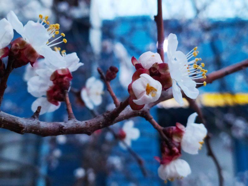 Весна! В Николаеве зацвели первые абрикосовые деревья (ФОТО)