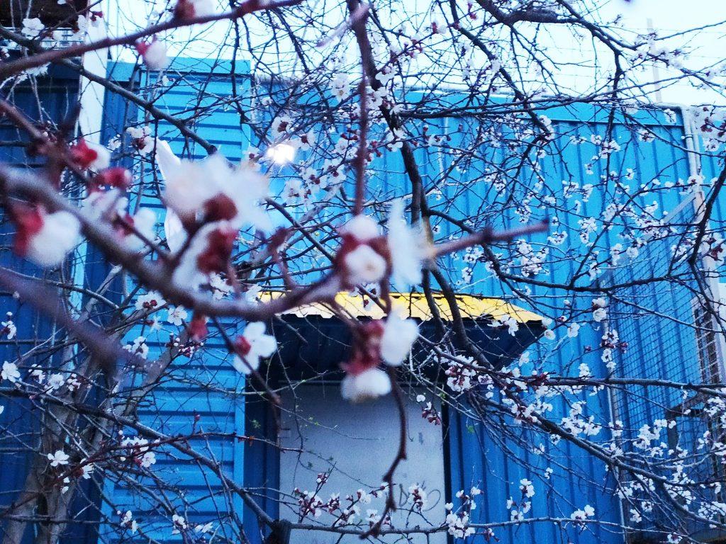 Весна! В Николаеве зацвели первые абрикосовые деревья (ФОТО) 5