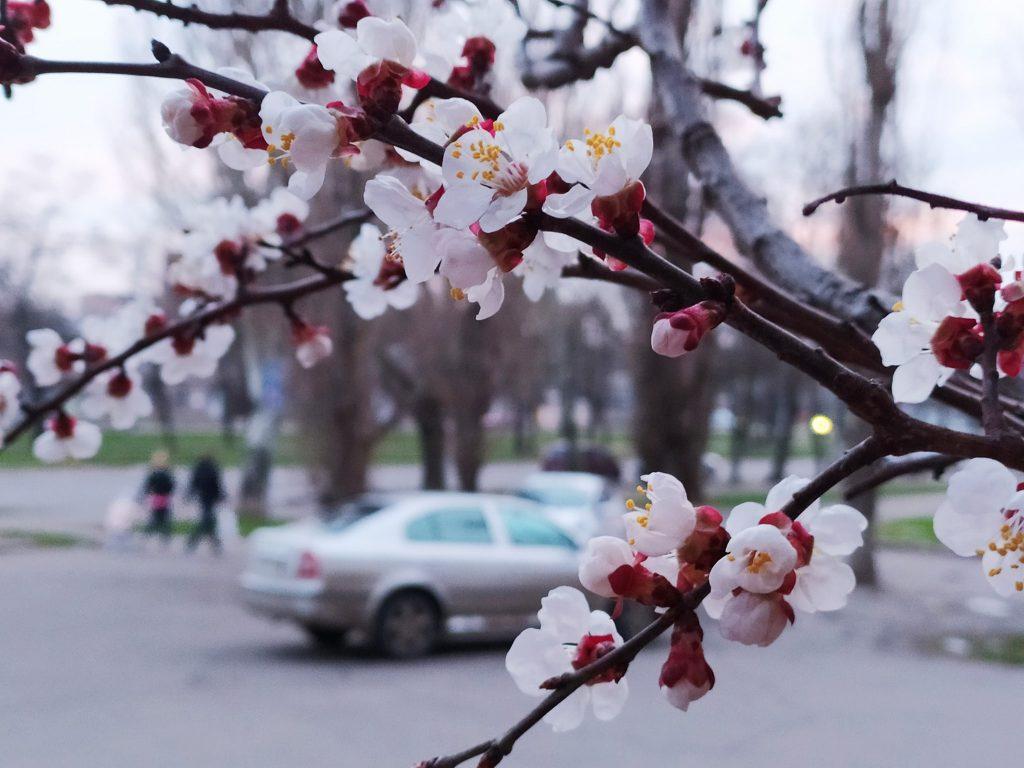 Весна! В Николаеве зацвели первые абрикосовые деревья (ФОТО) 7