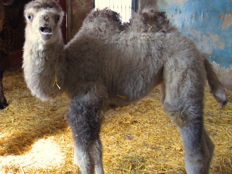 Николаевский зоопарк показал первую прогулку верблюжонки Джолы, родившейся месяц назад (ВИДЕО)