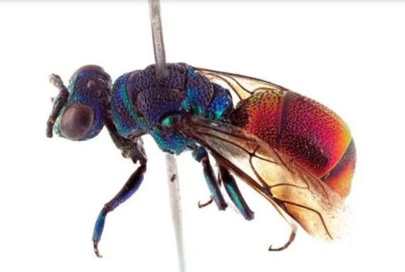 Блестящие красавицы. В Норвегии обнаружен новый вид ос