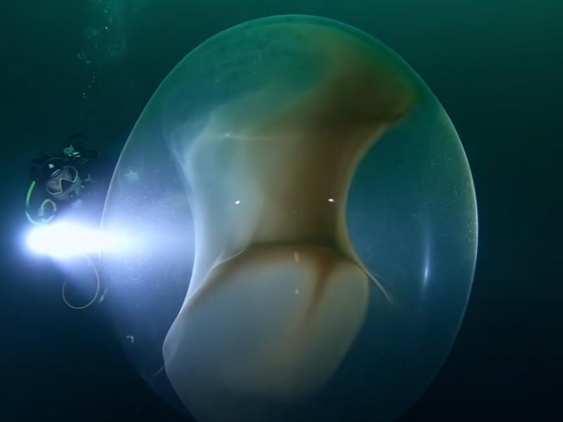 В норвежских водах обнаружили гигантские кладки яиц кальмара (ВИДЕО)