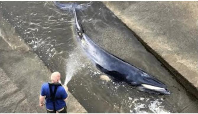 В Лондоне пытаются спасти заплывшего в Темзу китенка (ВИДЕО)