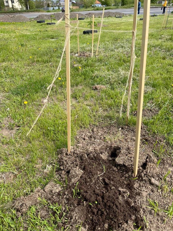 В Николаеве в праздничные выходные украли высаженные деревья: 3 сакуры и 1 сосну (ФОТО) 1