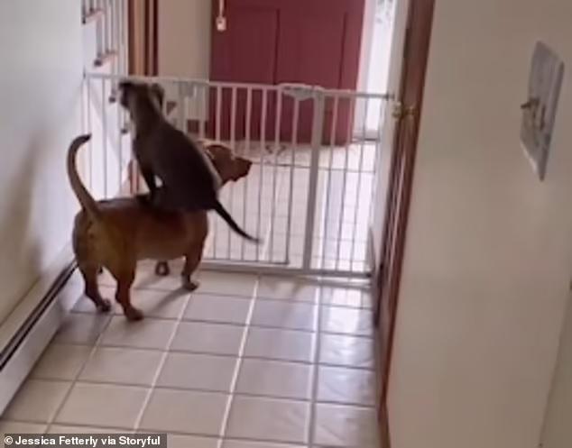 Собачий паркур: без спины друга ничего б не вышло (ВИДЕО)
