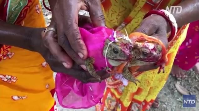 Зачем в Индии проводят свадебные церемонии для лягушек? (ВИДЕО)