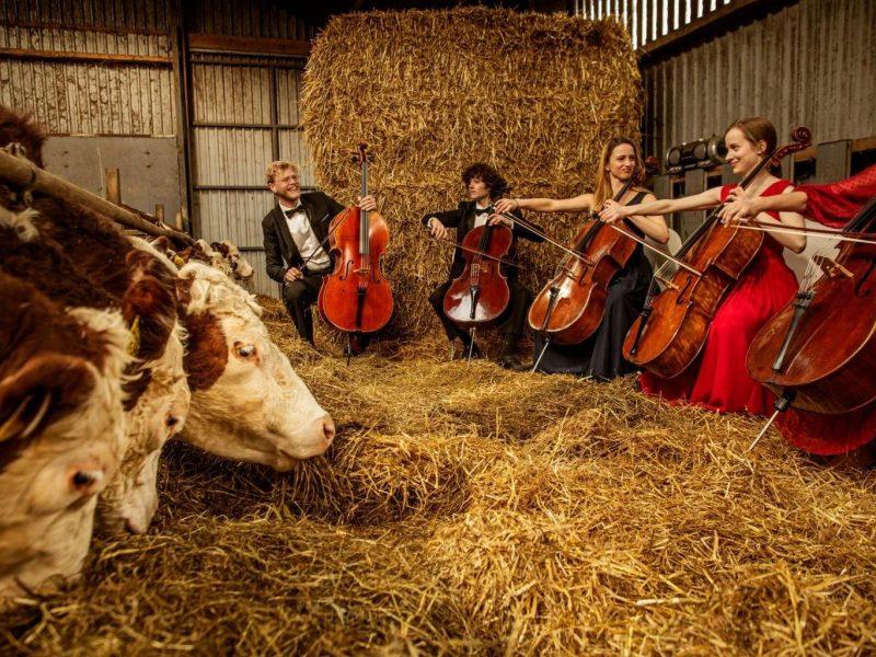Коровам в Дании устраивают концерты классической музыки (ФОТО)