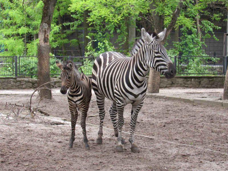 Бэби-бум в Николаевском зоопарке продолжается: теперь пополнение в семействе зебр (ФОТО)
