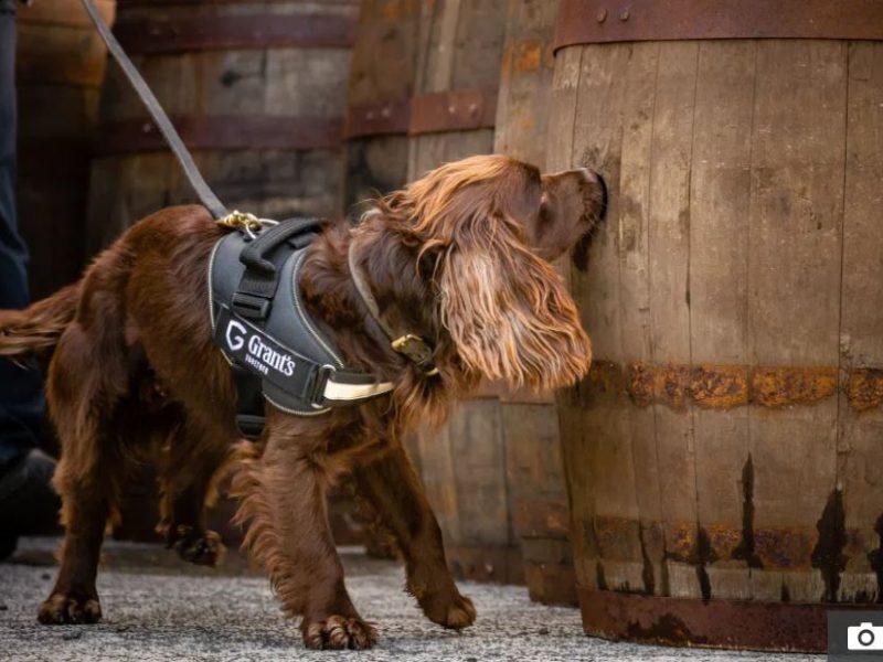 В Шотландии спаниель контролирует условия созревания виски (ФОТО)
