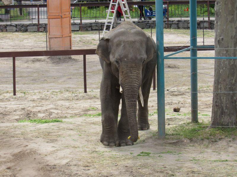 В Николаевском зоопарке слона Шанти поздравили с днем рождения: ящиком травы с 4 бананами (ФОТО)