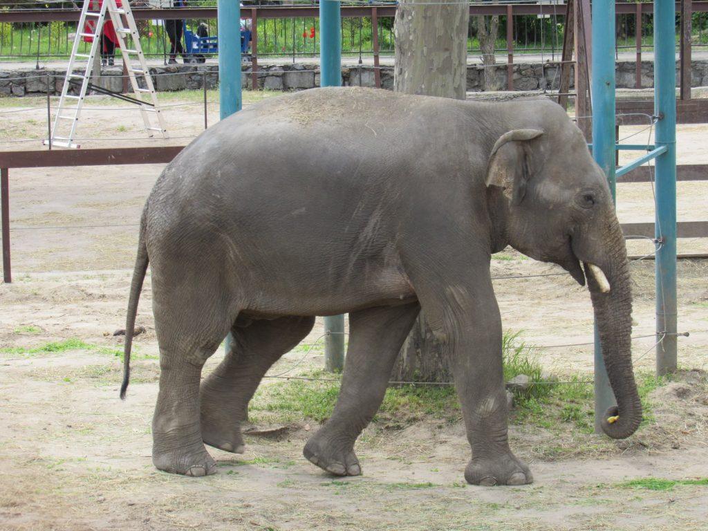 В Николаевском зоопарке слона Шанти поздравили с днем рождения: ящиком травы с 4 бананами (ФОТО) 5