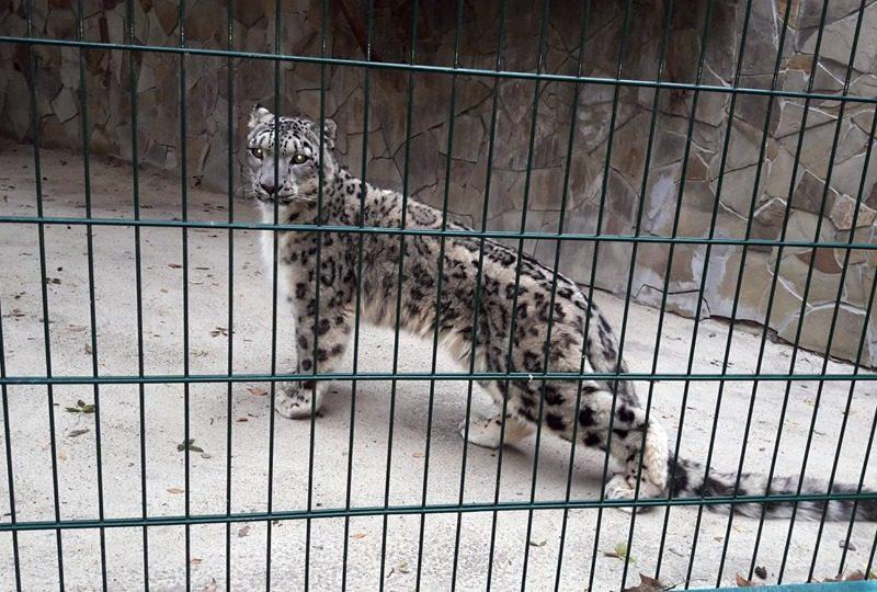 В Николаевском зоопарке – очередной именинник: снежный барс