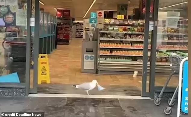 Чайка вошла в магазин и украла бутерброд с тунцом. И это не первая ее кража (ФОТО, ВИДЕО)