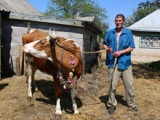 На Днепропетровщине кришнаит содержит три сотни коров и быков, которых хотели сдать на бойню