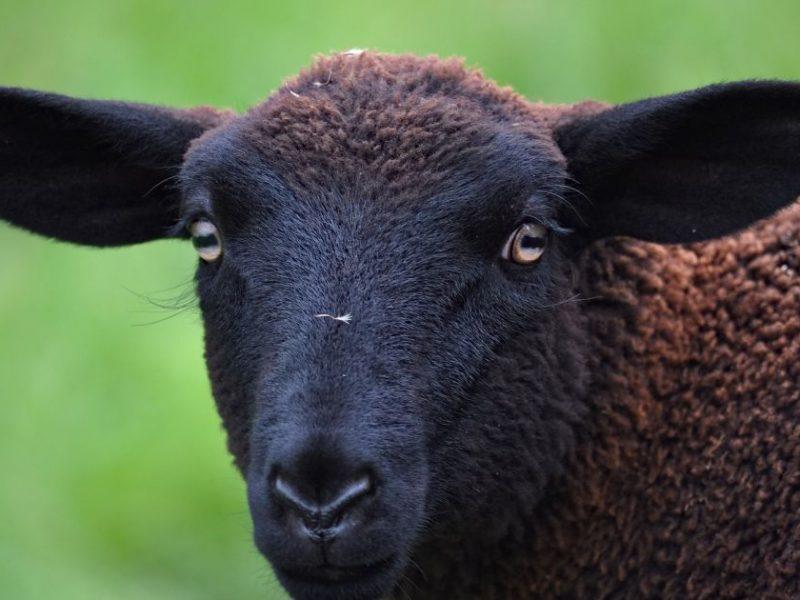 Свободу Валере! В Запорожье три недели гуляет на воле барашек, сбежавший из шашлычной (ВИДЕО)