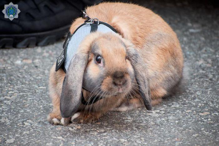 Курсант Топотун: в Днепре появился симпатичный кролик-полицейский