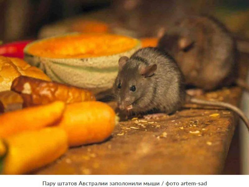 Миллионы мышей-каннибалов захватили два штата Австралии (ВИДЕО)