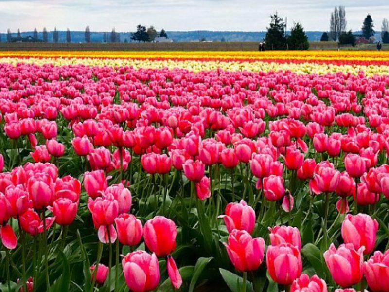 Под Ивано-Франковском впервые расцвело тюльпановое поле, выращенное для туристов
