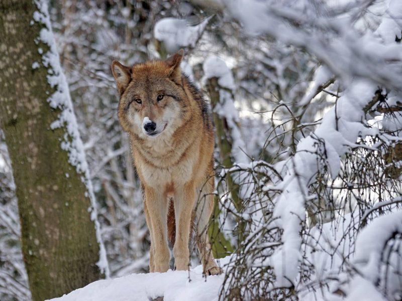 Когда петиция играет роль: в Словакии полностью запретят охоту на волков