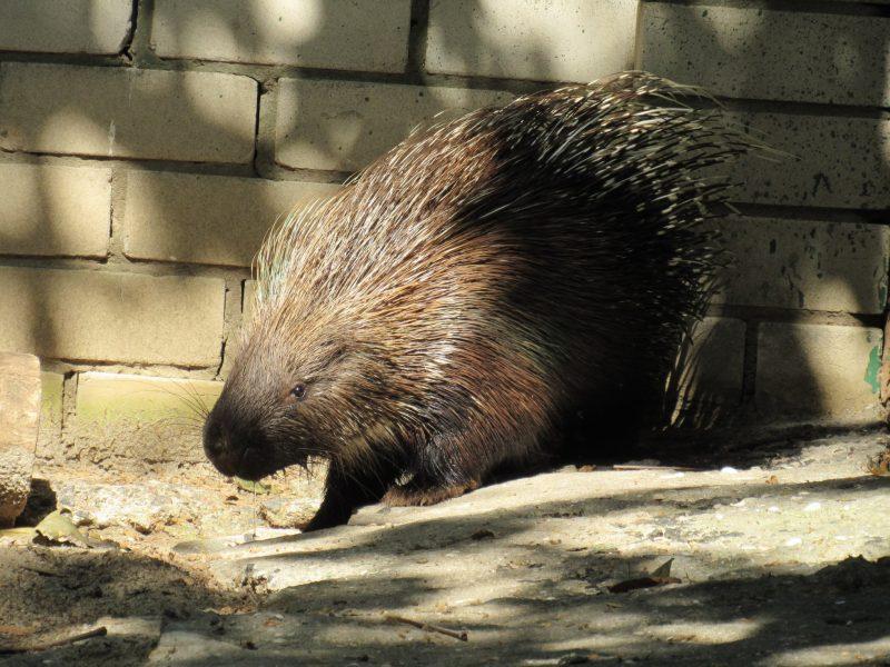 В Николаевский зоопарк из Одессы переехала пара дикобразов (ФОТО)