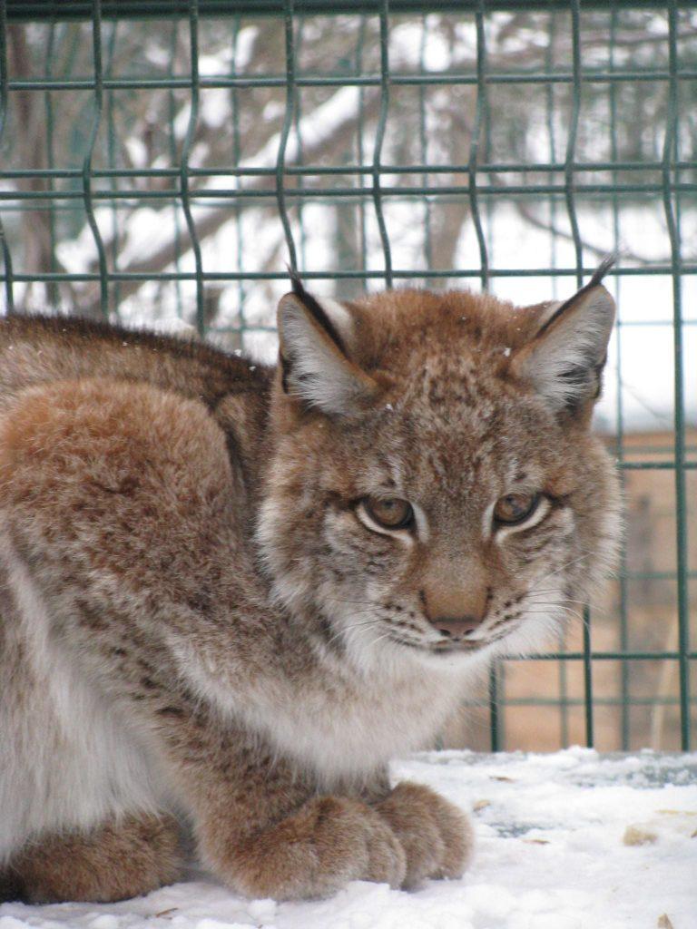 Рысей в Николаевском зоопарке стало больше (ФОТО) 5