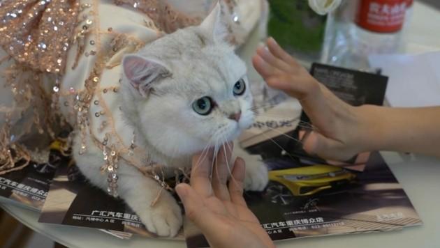 Как в Китае кошка зарабатывает на автосалонах (ФОТО)